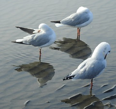Sea Gulls  at Sandgate (3)