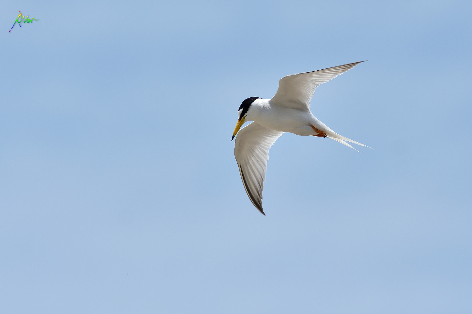 Little_Tern_2681