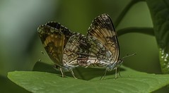 Mating Silvery Checkerspots - 1