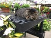 Dickie - The Greenhouse Kitty