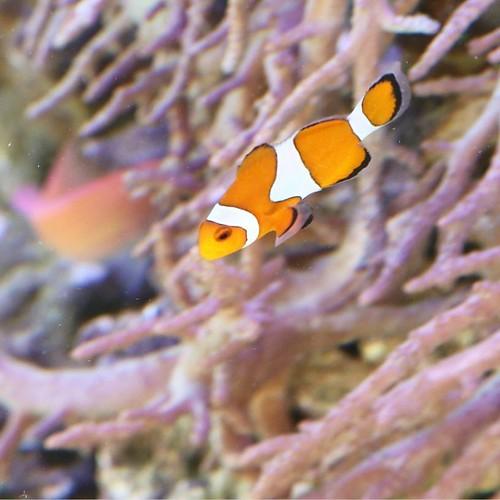 サンゴ再生プログラムのコーナー。クレクマノミおった。ニモか、ニモのお父さんか。 #ヤマハマリン #マリンカーニバル #豊洲