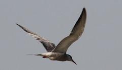 Whiskered tern Breeding plumage (Chlidonias hybridus)