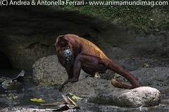Mantled Howler monkey Alouatta palliata