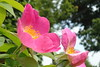 French rose - Rosa gallica I