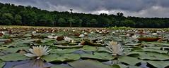 Cash Lake White Water Lily Scene 2017