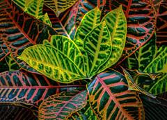 Botanical: Colorful Croton