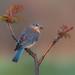 Eastern bluebird (f) by Phiddy1