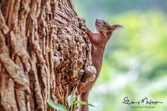 HolderRed Squirrel ............. Brownsea island Poole Dorset U.K