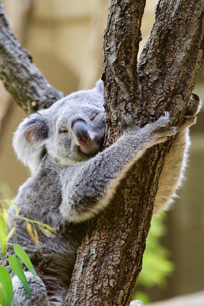 koala hugging