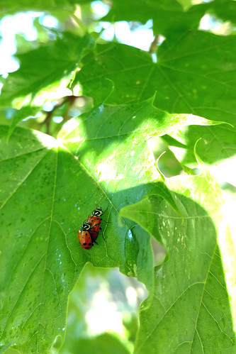 LadybugMating