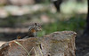 Grey-Collared Chipmunk