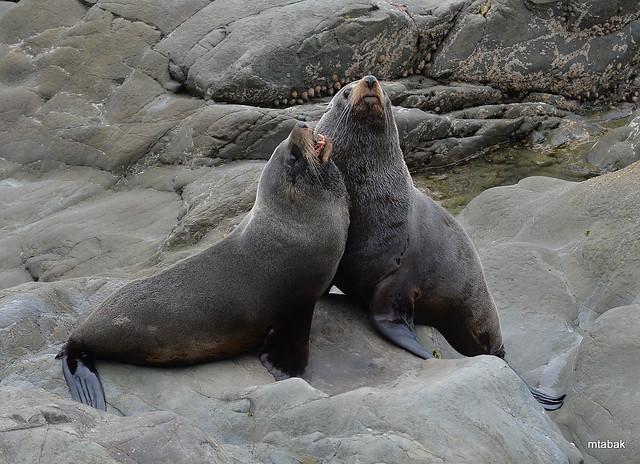 New Zealand Fur Seals, Nikon D4, AF VR Zoom-Nikkor 80-400mm f/4.5-5.6D ED