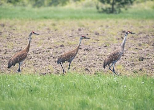 a trio of Sandhill Cranes