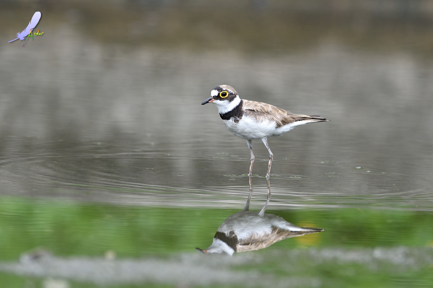 Little_Ringed_Plover_4903