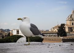 Altare della Patria - Sea Gull