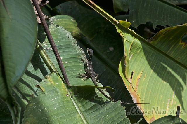 basilisc lizard 0000 Corcovado, Osa peninsula, Costa Rica
