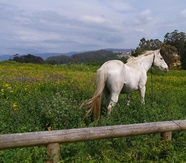 El caballo tranquilo Quiet, RICOH PENTAX K-1, smc PENTAX-FA 31mm F1.8 AL Limited