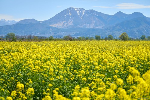 japan 日本 fieldmustard 菜の花公園 飯山市 nagano 長野市