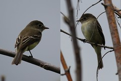 Least Flycatcher front and back