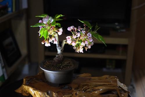 自宅で夜桜
