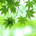 green momiji by * Yumi *