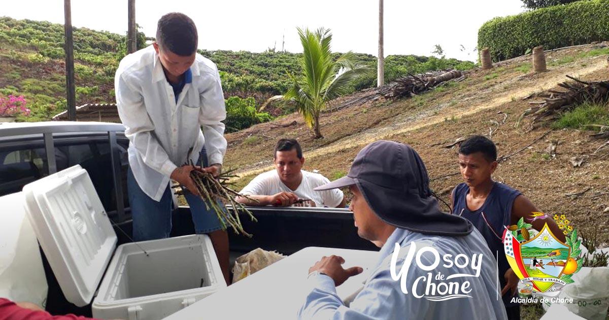 Alcaldía de Chone entrega 2.500 varetas de cacao