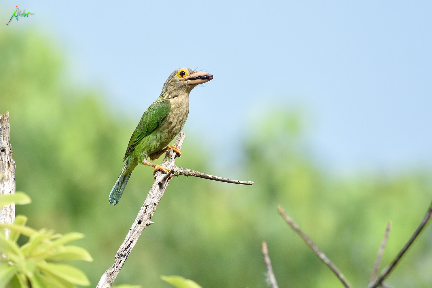 Lineated_Barbet_0837
