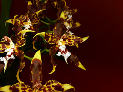 Oncidium hallii species orchid, 1st bloom  5-17
