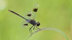 Four-spotted Pennant (male)- Holiday, Florida