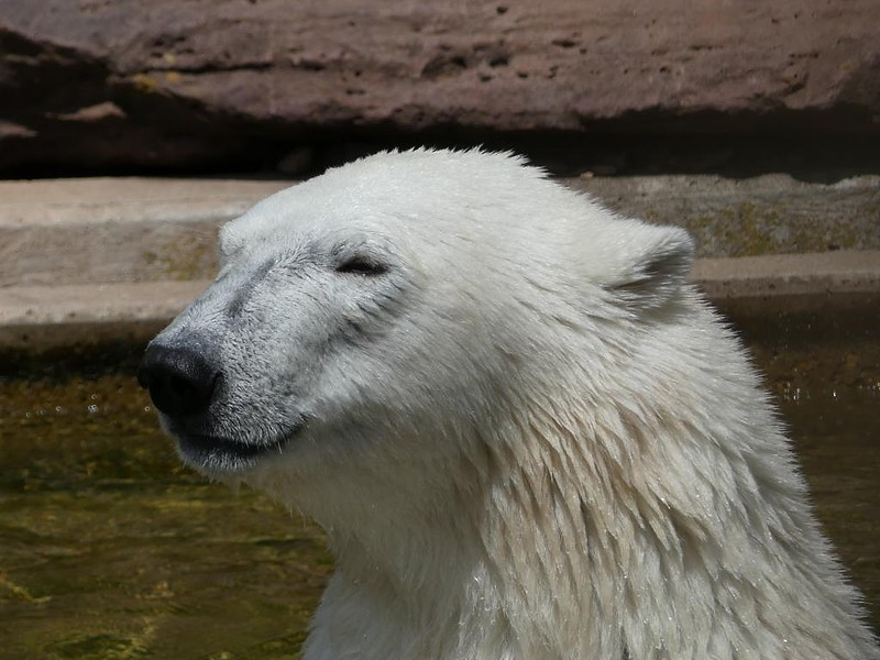 Eisbär Charlotte