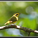 Kentucky Warbler by Gregs eBirds