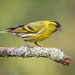 Male Siskin taken at my wood during the rain showers on Thursday