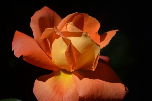 Rose is a rose, Nikon D5100, AF-S DX VR Zoom-Nikkor 55-200mm f/4-5.6G IF-ED