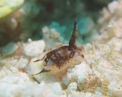 サガミノプテロン・マルチマクラトゥム Sagaminopteron multimaculatum