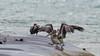 Pélican brun (Pelecanus occidentalis)
