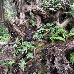 A whole other world ... #fernstumpery #fern #stump #rootwad #PNW #botanicalgarden #federalway