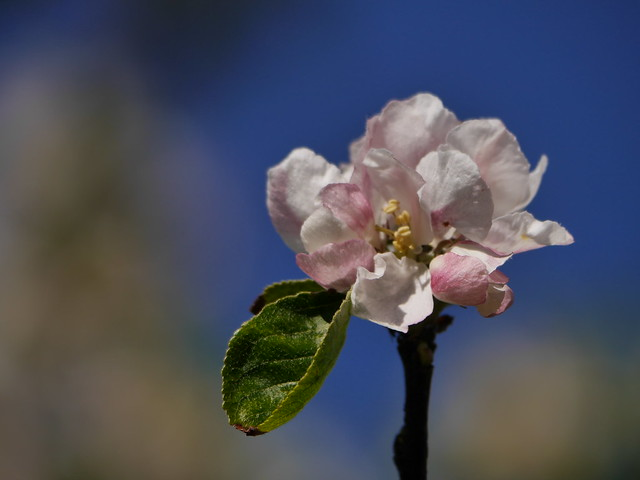 Blossom, Panasonic DMC-G6, LUMIX G VARIO 100-300mm F4.0-5.6