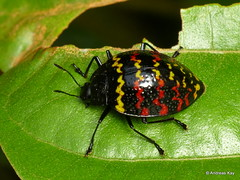 Zigzag fungus beetle, Erotylus incomparabilis