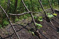 Monthly vegetable garden update - May 2017 by pakovska.com