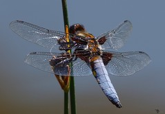 Holderbroad  body chaser dragon fly male