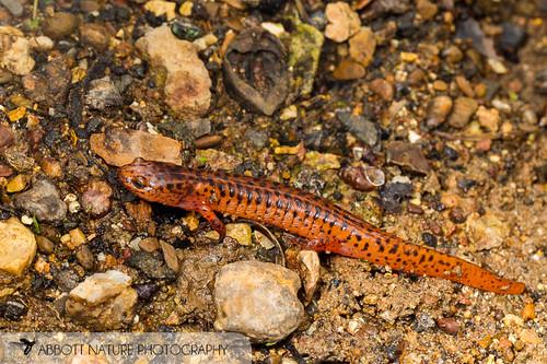 Northern Red Salamander (Pseudotriton ruber ruber) 20170513_9356.jpg