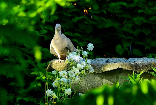 landscape garden outdoor bird animal nature dove eurasiancollareddove streptopeliadecaocto colombine flowers blooms blossoms birdbath backyard peace aldergrove bc peaceoftheevening