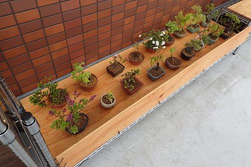 今朝の盆栽棚