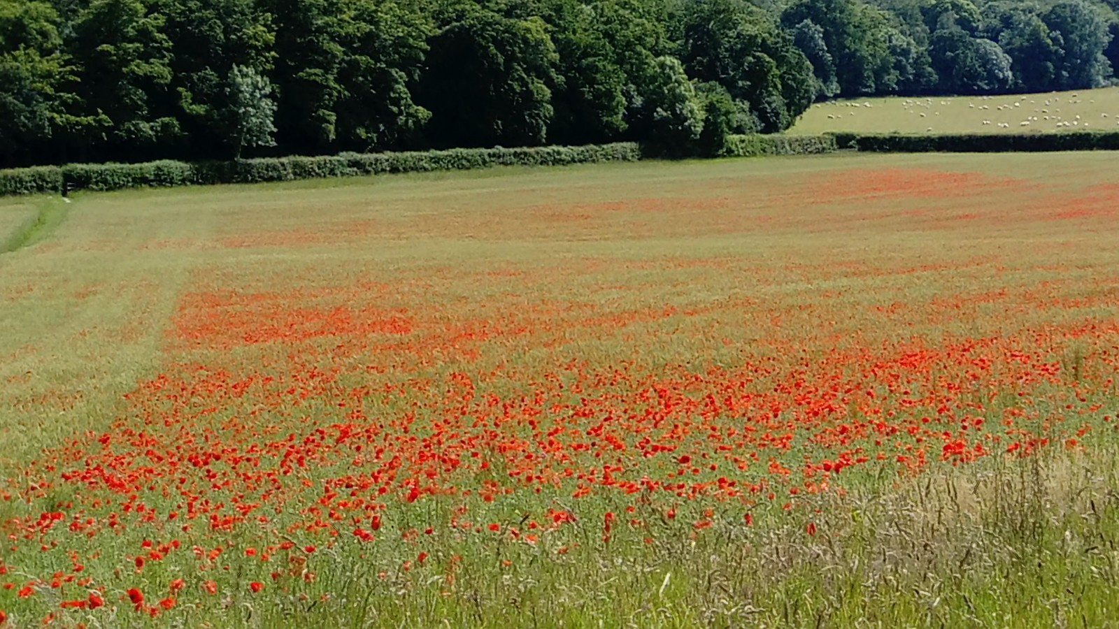 Poppy-filled field near Turville SWC Walk 223 Henley-on-Thames Circular (via Turville)