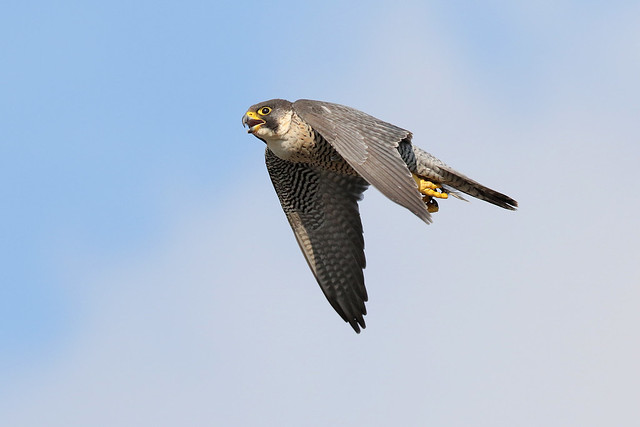Peregrine falcon, female Manchester, Canon EOS 7D MARK II, Canon EF 500mm f/4L IS II USM