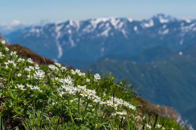 ハクサンイチゲ咲く斜面を下ってエビス大黒避難小屋へ