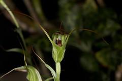 Diplodium laxum (syn Pterostylis laxa) 2017-05-08 01