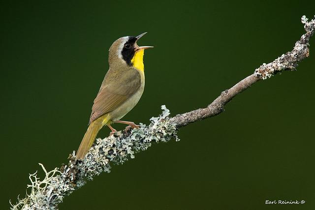 Warbler on a stick