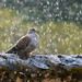 Speckled Pigeon (Tim Melling)