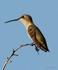 Female or immature ruby throated or blacked-chinned hummingbird?